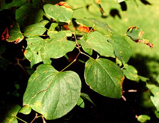 redbud-foliage