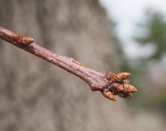Chestnut Oak Buds
