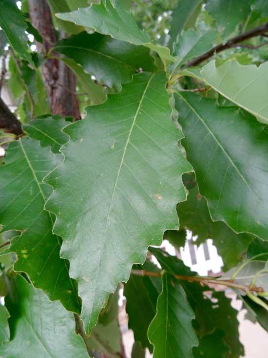 Chinkapin Oak Leaves