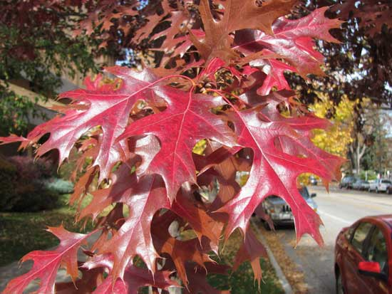 Northern Pin Oak Leaves