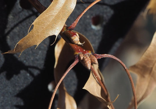 Pin Oak Buds