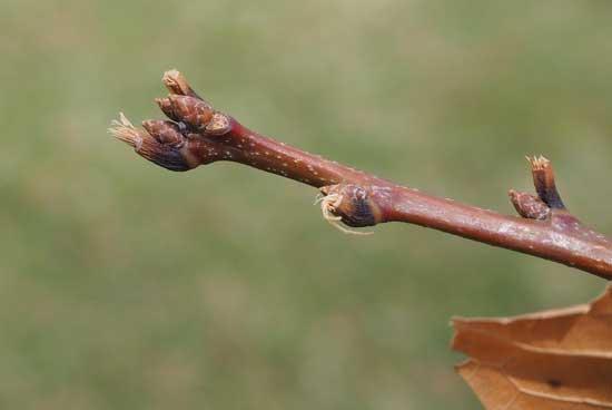 Shingle Oak Buds