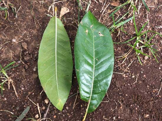 Shingle Oak Leaves