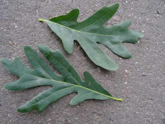 White Oak Leaves
